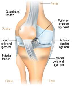 An illustration of the knee joint showin the location of the ligaments, incluing the ACL.